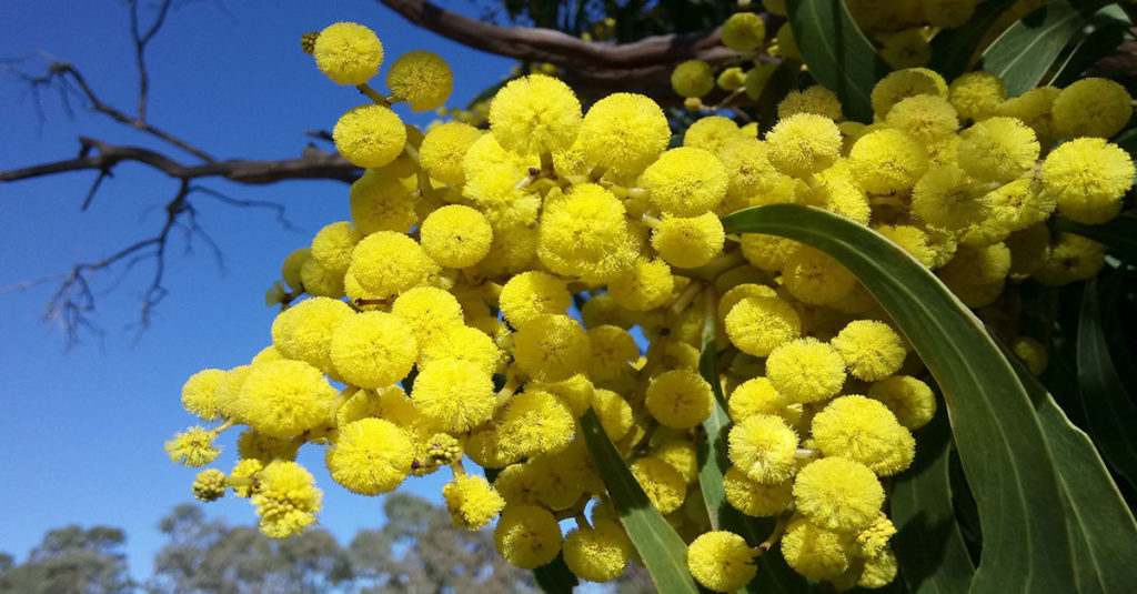 Life's Diverse Connections Are Wattle Bring You Success